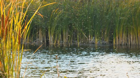 mucha : Gnus, mosquitoes or midges fly over the lake and reeds, sedge. Camera panning