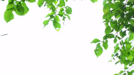 élénk : Green leaves on white background