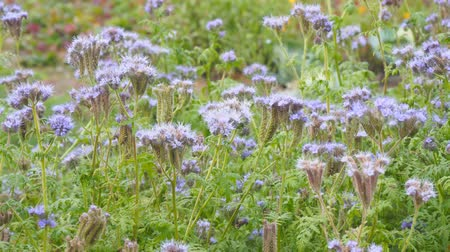 хлорофилл : Purple flowers of Phacelia in the garden Стоковые видеозаписи