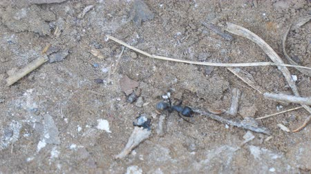 formicidae : Black Carpenter ant crawling on the sand. Camponotus vagus. Selective focus Stock Footage