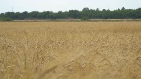 resmedilmeye değer : Field with wheat or rye. On the edge of field is worth wood. Selective focus. Camera panning