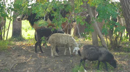 yalan : Cows and sheep on a hot day in the shade of trees Stok Video