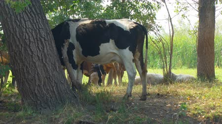 přežvýkavec : Cows stand in the shade of trees in the hot afternoon Dostupné videozáznamy