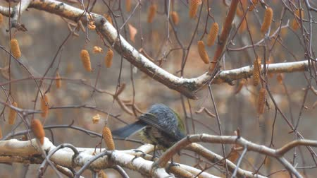 birdie : Titmouse on the branches of birch Stock Footage