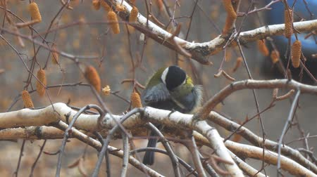 tom : Titmouse sitting on a birch tree preening and cleaning its feathers