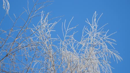 monte de neve : Branch in hoarfrost on a background blue sky Stock Footage