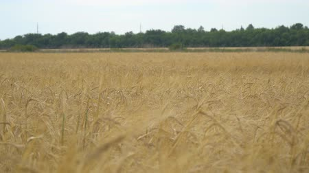 resmedilmeye değer : Field with wheat or rye. On the edge of field is worth wood. Selective focus Stok Video