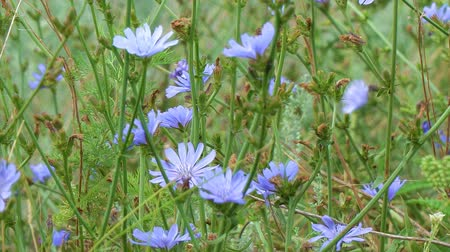 suplementy : Blue flowers on natural background. Flower of wild chicory endive. Meadow grass. Cichorium intybus. Camera paning