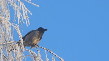 perching : Gray crow on birch branches covered with hoarfrost against a blue sky Stock Footage