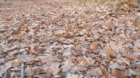 poros : Dry oak leaves on the ground. Camera panning