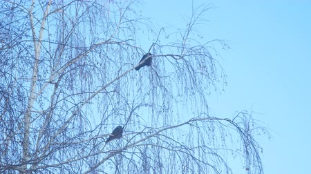 birdie : Jackdaw sitting on the branch of a birch on a background of blue sky