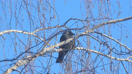 kismadár : Jackdaw sitting on the branch of a birch on a background of blue sky