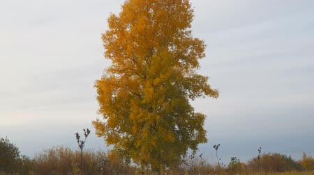populus : Old tall poplar with yellow leaves on autumn meadow. Populus. Camera panning up Stock Footage