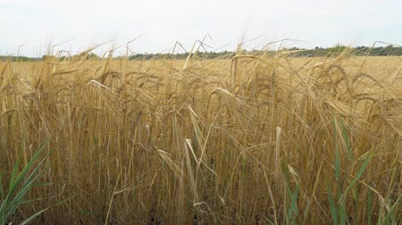 全粒 : Golden ears of ripe wheat. Selective focus 動画素材