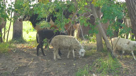 sereg : Cows and sheep on a hot day in the shade of trees Stock mozgókép