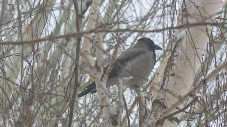 задумчивый : Gray crow sitting on a birch tree on a cloudy day and cleans the wings and feathers
