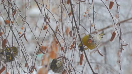 pinus : Siskins sitting on the branch of a birch and eat the seeds of birch. Camera zooming