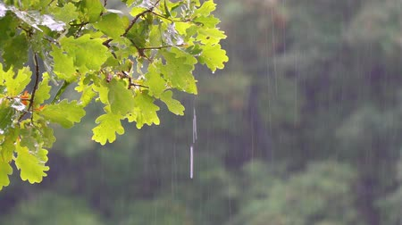 rain forest : A branch of an oak tree in the summer rain. Rain in the forest. Camera zooming