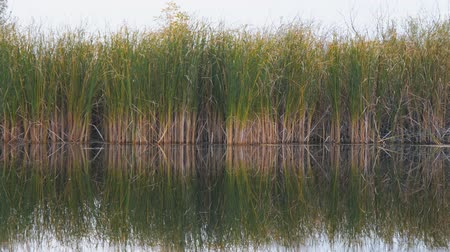 kamış : View of river reeds, sedge or cane. Camera panning