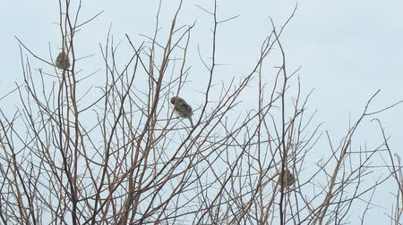 elle çizilmiş : Sparrows sitting on the bare branches of a Bush on a cloudy day Stok Video