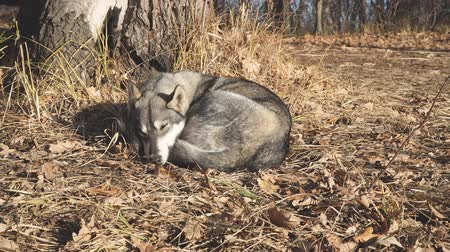 uykulu : Dog breed West Siberian Laika sleeps under a tree on dry leaves Stok Video