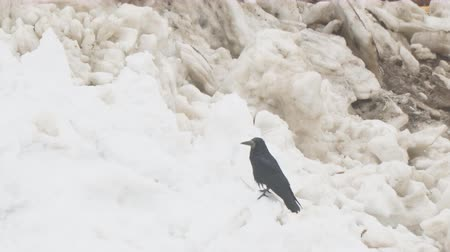 corvus frugilegus : Rook sits on spring snow, and then flies away