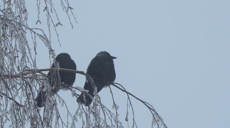 alado : Jackdaw sitting on the branch of a birch on a background of blue sky. Camera zooming