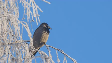 rook : Gray crow on birch branches covered with hoarfrost against a blue sky Stock Footage
