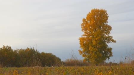 populus : Old tall poplar with yellow leaves on autumn meadow. Populus. Camera panning