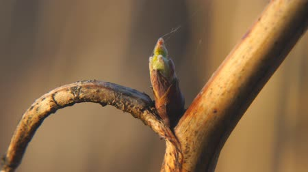 ambiental : Born leaf from a bud on a raspberry branch. Bud per stem bloom young leaves
