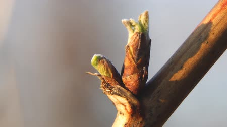 росток : Born leaf from a bud on a raspberry branch. Bud per stem bloom young leaves