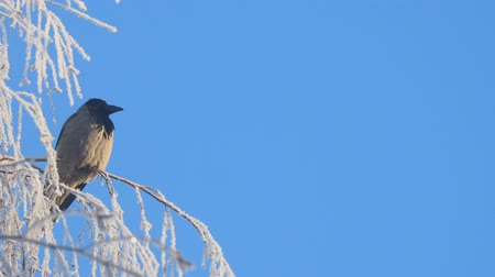 rook : Gray crow on birch branches covered with hoarfrost against a blue sky. Camera panning