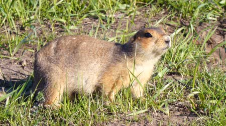 squirrel : Gopher eats grass after hibernation
