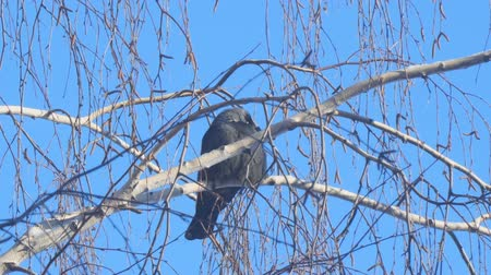 pluma : Jackdaw sitting on the branch of a birch on a background of blue sky.. Camera zooming