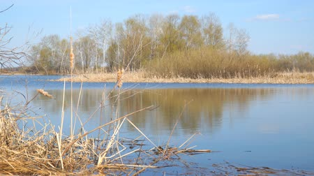 catástrofe : A river or a small lake in early spring. The grass appears , the blossom leaves. In the foreground is an old cattail. Spring landscape