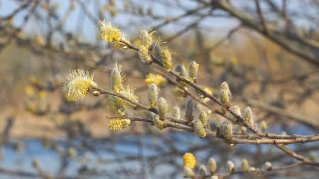 древесный : Willow branches with fluffy buds on a natural background