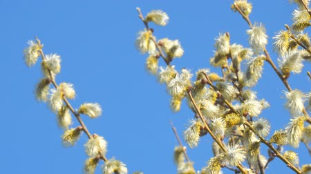pelyhes : Willow branches with fluffy buds against the blue sky