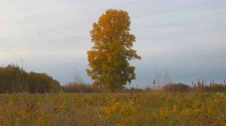 populus : Old tall poplar with yellow leaves on autumn meadow. Populus