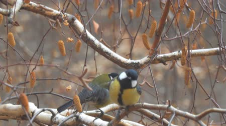alado : Two Titmouse on the branches of birch Vídeos