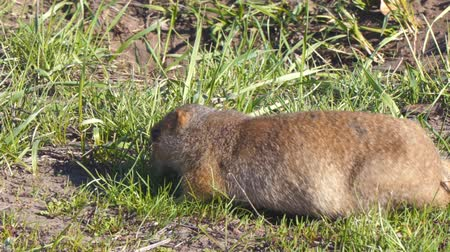 wiewiórka : Gopher eats grass after hibernation