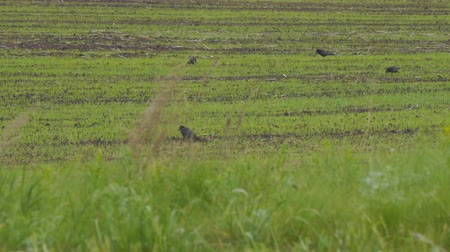 szare tło : Black Rooks walk on the sowed field Wideo