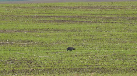 dark green : Black Rooks walk on the sowed field Stock Footage