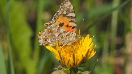 motyl : Butterfly burdock on a yellow dandelion flower. Vanessa cardui