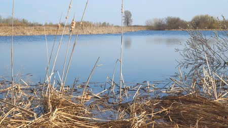krzak : A river or a small lake in early spring. The grass appears , the blossom leaves. In the foreground is an old cattail. Spring landscape. Camera panning