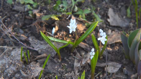 Флорес : Little white flower. White Scilla. Camera panning Стоковые видеозаписи