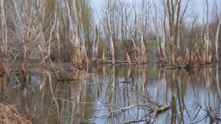 swamps : Dead dry tree trunks on an old pond or wetland. Camera panning