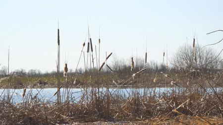 cattail : Dry swamp grass. Ripe dry cattail on the lake. Camera panning
