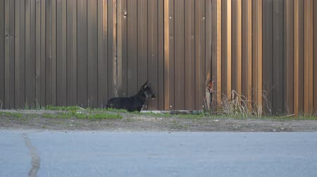 doména : A small black dog standing at the iron fence, and then climbs under the fence
