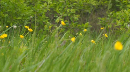 boterbloem : Yellow spring flowers in the wind. Buttercup on the green meadow. Ranunculus acris Stockvideo