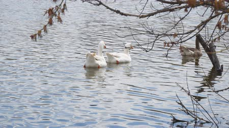 meada : Two white goose floating on the water of the pond Stock Footage